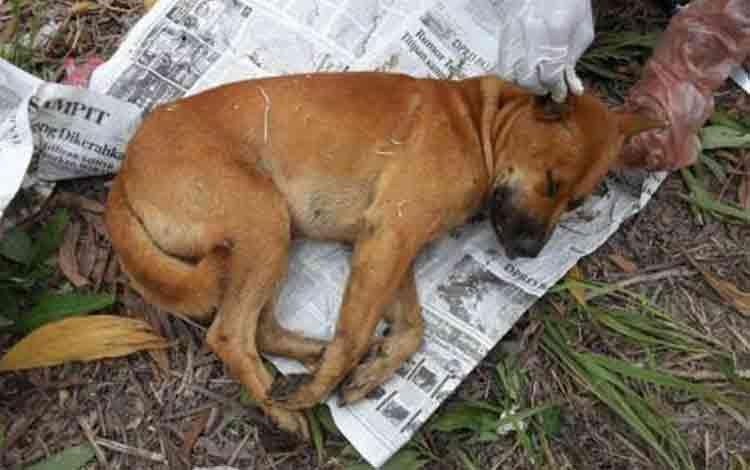 Anjing liar disuntik mati okeh Distanak. DOK BORNEONEWS