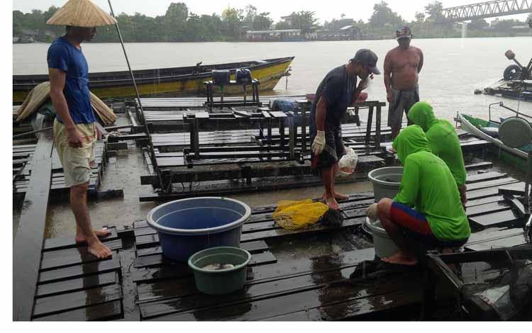 Sejumlah pemilik keramba ikan terpaksa panen mendadak ikan kerambanya di Sungai Katingan sekitar Jembatan Kasongan, Selasa (3/5) kemarin.borneo/abdul gofur