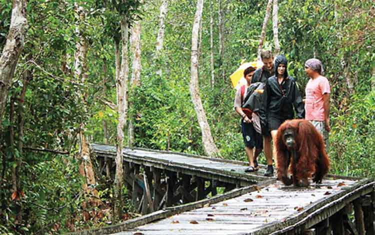 Taman Nasional Tanjung Puting, di Kotawaringin Barat, Kalimantan Tengah. Bupati Kobar Bambang Purwanto, Selasa (24/5/2016) diminta ikut mempromisikan pariwisata daerah. BORNEO/DOK