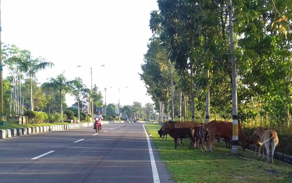 Hewan ternak yang berkeliaran di Jalan Cilik Riwut, Sukamara. BORNEONEWS/NORHASANAH