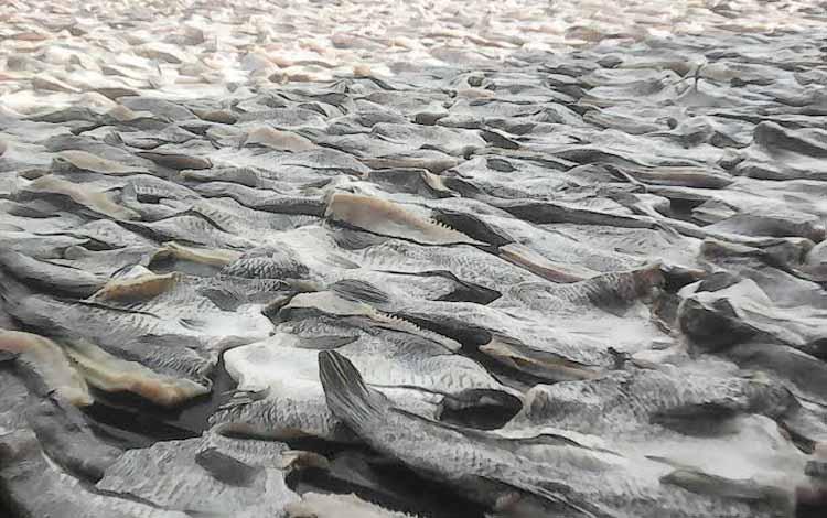 Ikan air tawar dalam proses pengeringan dengan sinar matahari, untuk menjadi ikan asin. Pengusaha ikan asin air tawar mengeluhkan mulai langkanya bahan baku. BORNEONEWS/NORHASANAH