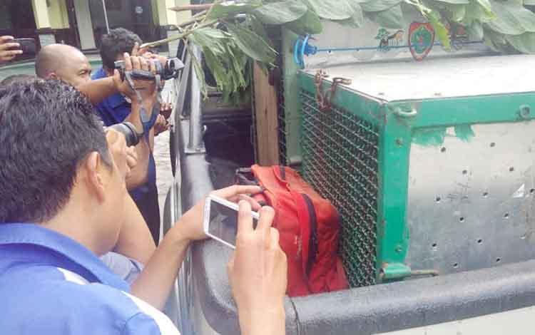 Wartawan mengabadikan orangutan dan beruang madu dalam kandang, Senin (21/11/2016). Orangutan dan beruang itu dilepasliarkan ke Taman Nasional Sebangau. BORNEONEWS/BUDI YULIANTO
