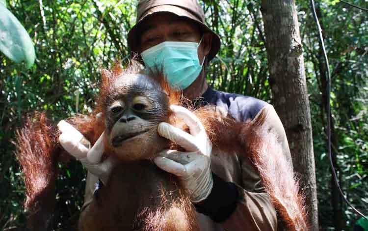 Anak orangutan jantan yang dipindahkan tim Borneo Orangutan Survival Nyaru Menteng Palangka Raya, dari hutan lindung Sungai Mangkutub Kabupaten Kapuas, pada 2015 lalu akibat rusaknya habitat alami karena pembalakan liar. BORNEONEWS/DOC