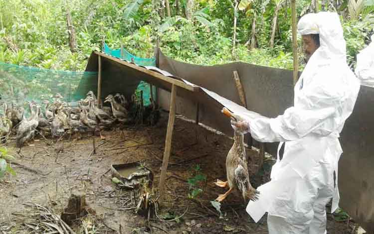 Dinas Peternakan Kapuas memusnahkan 48 ekor itik jenis Alabio, di Desa Basarang Muara, Kecamatan Basarang, Kamis (29/12/2016). Unggas Kelompok Tani Peternakan Bakula itu, positif flu burung. BORNEONEWS/DJEMMY NAPOLEON