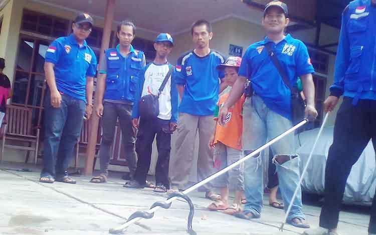 Saat Tim Balakar 545 dan Haderi (Pawang Ular) berhasil melumpuhkan ular cobra yang meneror rumah warga dijalan Keruing, Kecamatan Selat, Kabupaten Kapuas, kamis (20/4/2017)