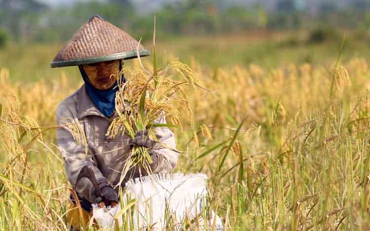 Petani menggarap sawah di Kotawaringin Barat.