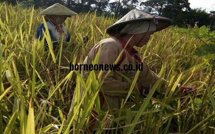 Dprd Gunung Mas Produksi Pertanian Harus Meningkat