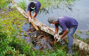 Penemuan bangkai orangutan di kawasan PT Wana Sawit Subur Lestari II. (Foto dokumentasi Fajar Dewanto-OFI)
