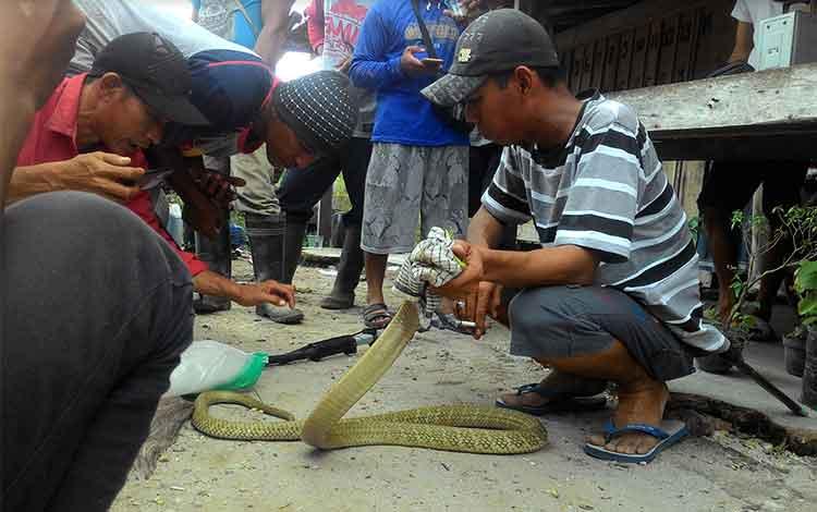 Daeng Putra, memegang ular king cobra yang ditemukan saat warga Tingang sedang kerja bakti.