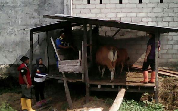 P[etugas DKPP Kabupaten Sukamara saat melasanakan program Upsus Siwab.