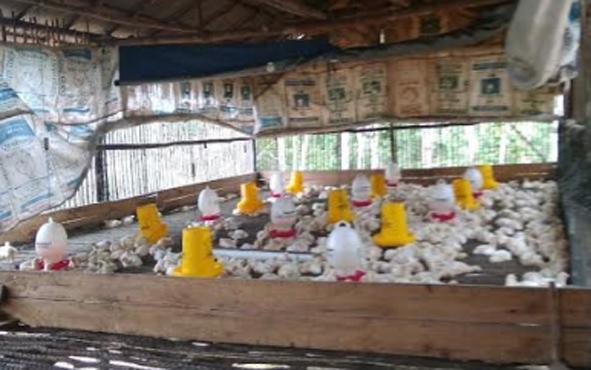 Ayam ternak milik kelompok peternak di Desa Sukaraja, Kecamatan Sukamara, Kabupaten Sukamara.