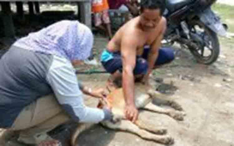 Digigit Anjing Liar, Ternak Warga Bukit Sungkai Terinfeksi Rabies