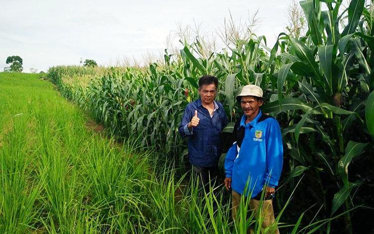 Kepala Dinas Pertanian barito Utara, Ir Setia Budi bersama petani jagung hibrida Desa Mampuak, Kecamatan Teweh Timur