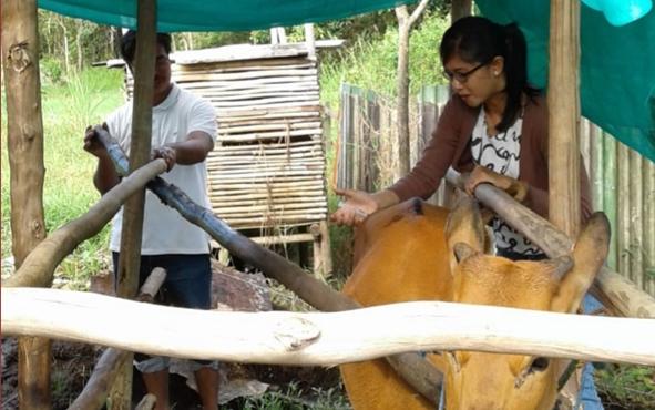 Petugas Kesehatan Hewan Dinas Pertanian Kabupaten Kapuas memeriksa kesehatan sapi milik peternak, beberapa waktu lalu.