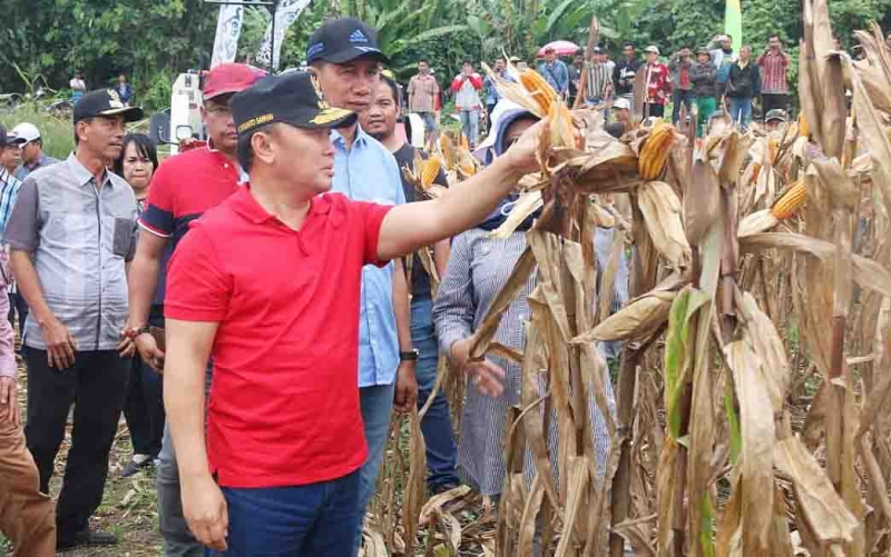 Gubernur Kalteng, Sugianto Sabran memantau pertanian jagung di Barito Utara.
