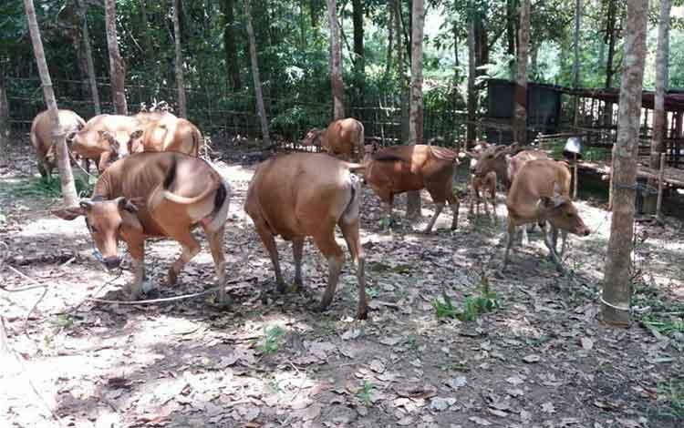 Bantuan sapi bali yang disalurlan DKPP Sukamara
