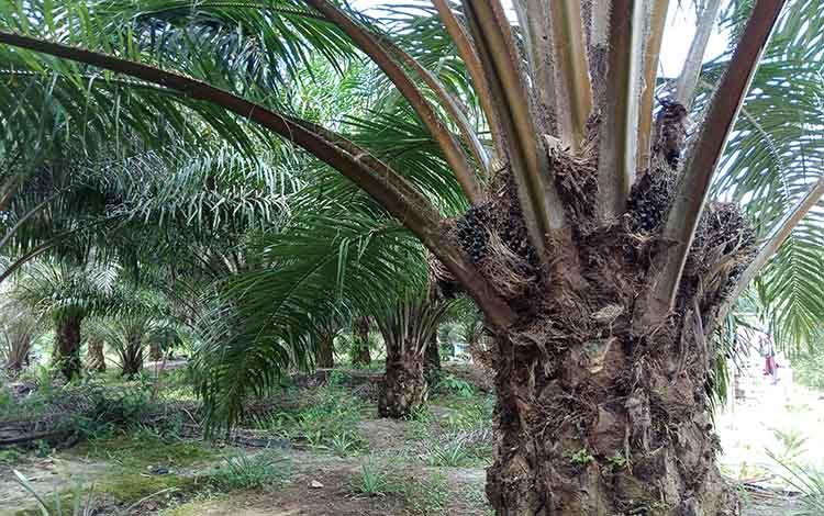 Perkebunan kelapa sawit.