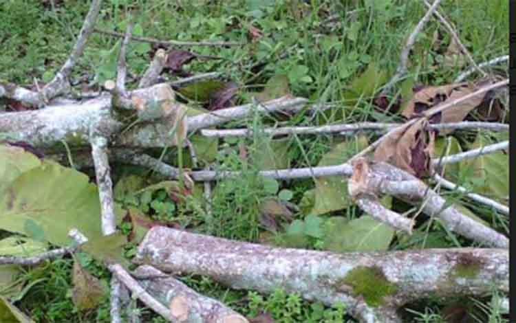 Pohon jati warga yang ditebang petugas pihak PLN.