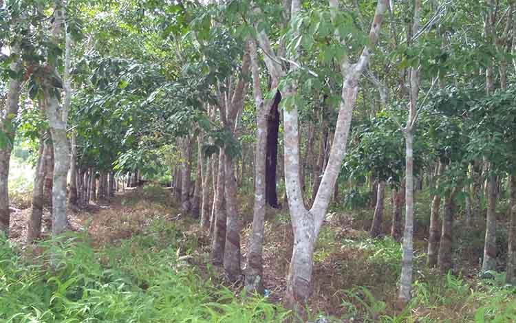 Gambar Kebun Karet Kalimantan