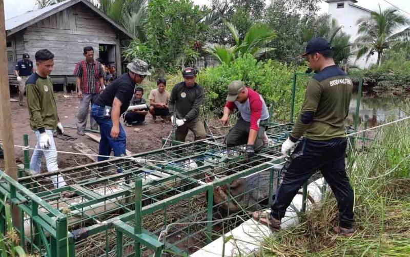 Tim BKSDA saat mengevakuasi buaya di Sungai Seranggas.