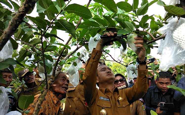 Wali Kota Palangka Raya Fairid Naparin memanen buah jambu kristal, Selasa (12/2/2019).