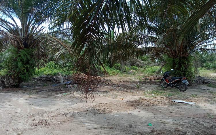 Perkebunan kelapa sawit di Kotim