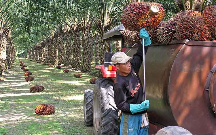 Sawit di Malaysia. Banyak pekerja perusahaan sawit di Malaysia merupakan WNI.