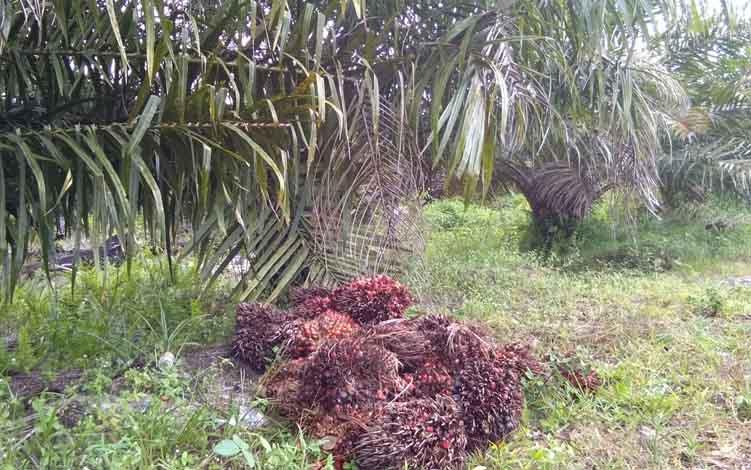 Buah kelapa sawit milik warga UPT Hiyang Bana ini siap dibeli oleh pengepul.