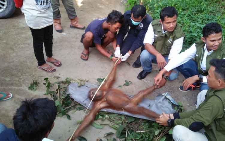 Petugas SKW II Pangkalan Bun dan OFI saat evakuasi anak orangutan