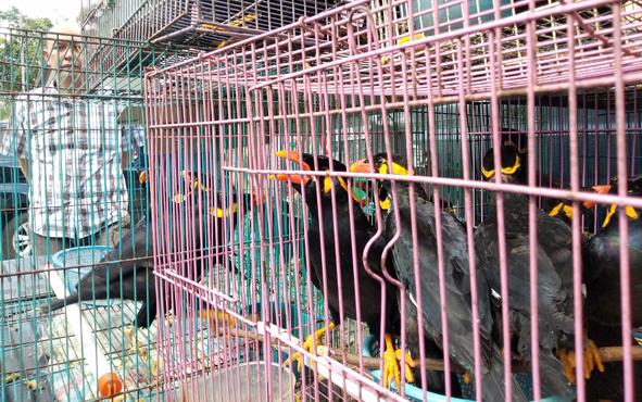 Burung beo hasil pengungkapan satwa dilindungi siap dilepasliarkan, Jumat, 5 Juli 2019.