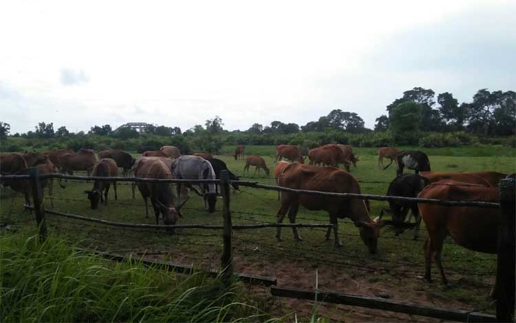 Sapi ternak milik warga di Kuala Pembuang