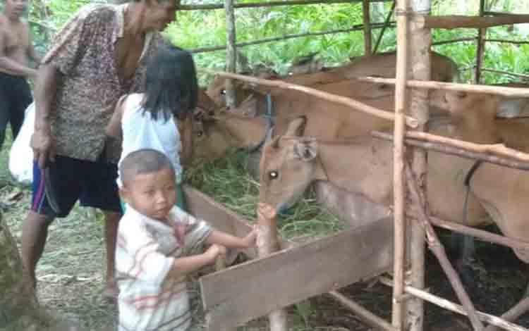 Sapi bali yang disalurkan DKPP Sukamara kepada kelompok ternak.