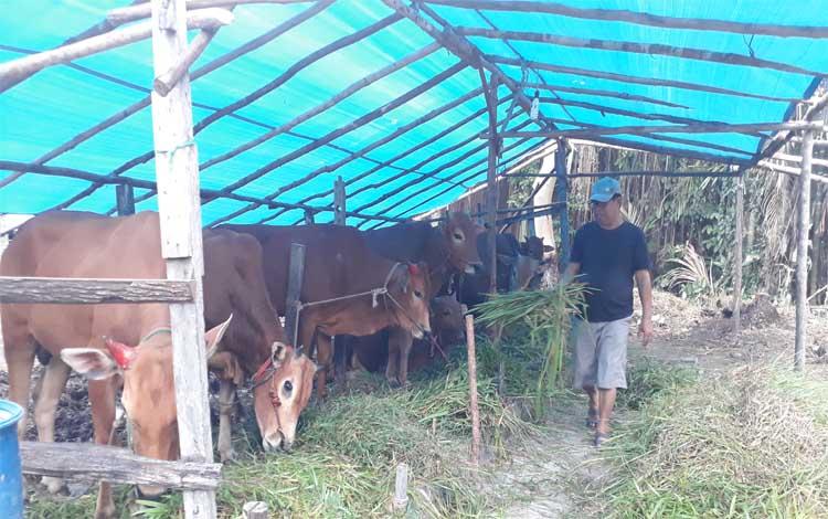 Samsul mendatangkan hewan kurban dari Jawa