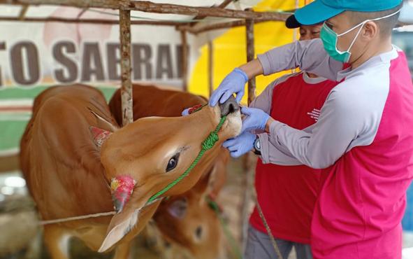 Petugas Dinas Peternakan Kobar mengecek kesehatan ternak milik pedagang hewan kurban, beberapa waktu lalu.