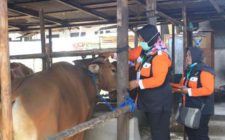 Petugas DKPP Kota Palangka Raya memeriksa dan menempe tanda di tali sapi.