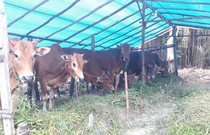 Sapi yang dijual peternak untuk hewan kurban.