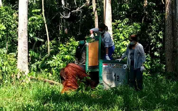 Orangutan bernama Bonbon dilepasliarkan oleh tim USAID di Pulau Badak Kecil, Desa Pilang, Kabupaten Pulang Pisau, Jumat, 9 Agustus 2019.