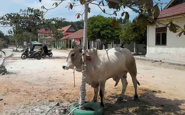 Seekor sapi hewan kurban bantuan dari Gubernur Kalteng untuk Masjid Baitul Ilmi komplek Kampus Unmuh Kasongan.