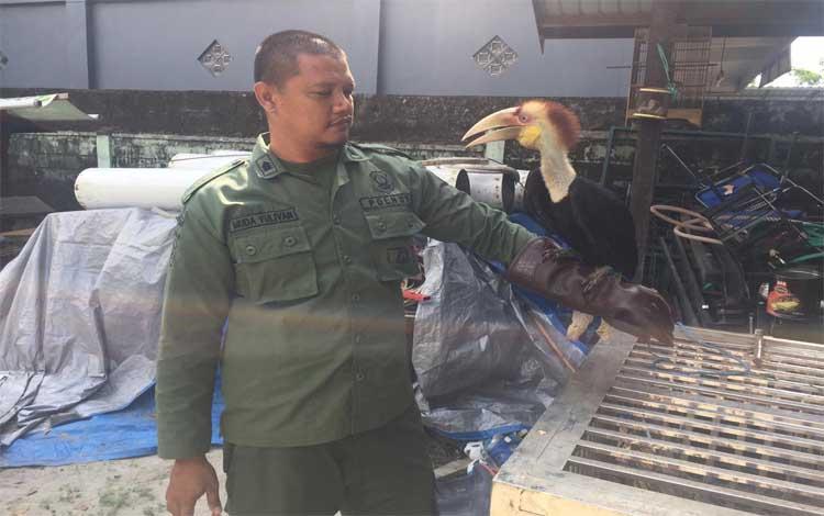 BKSDA SKW II Pangkalan Bun melalui Polisi Hutan Muda Yulivan amankan burung Rangkong Julang Emas milin warag, di Desa Karang Mulya Kecamatan, Pangkalan Banteng, pada Rabu, 14 Agustus 2019