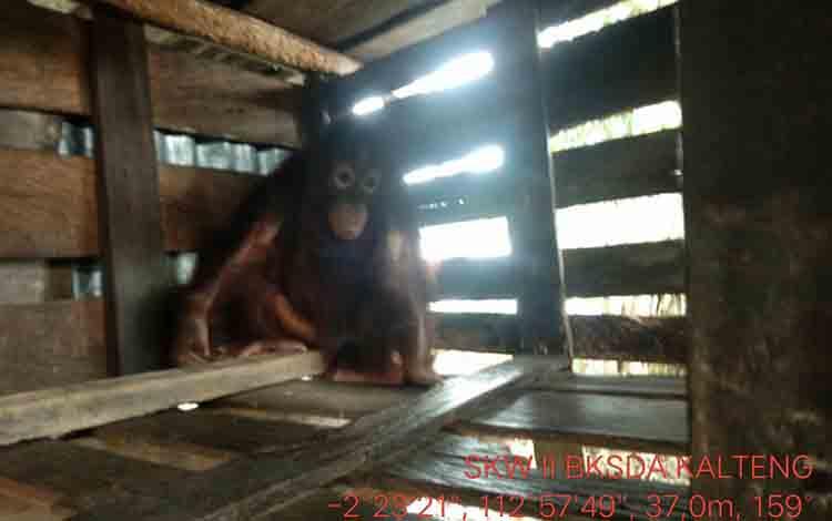 Orangutan yang dievakuasi oleh BKSDA Pos Sampit beberapa waktu lalu.