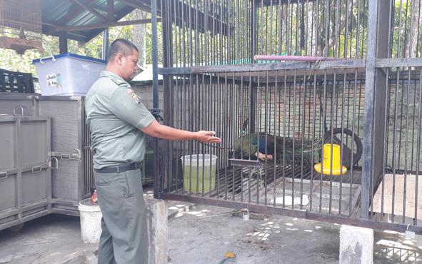 Polisi Hutan Muda Yulivan di BKSDA SKW II Pangkalan Bun, menunjukkan satwa dilindungi yang diterima dari warga, Selasa, 20 Agustus 2019.