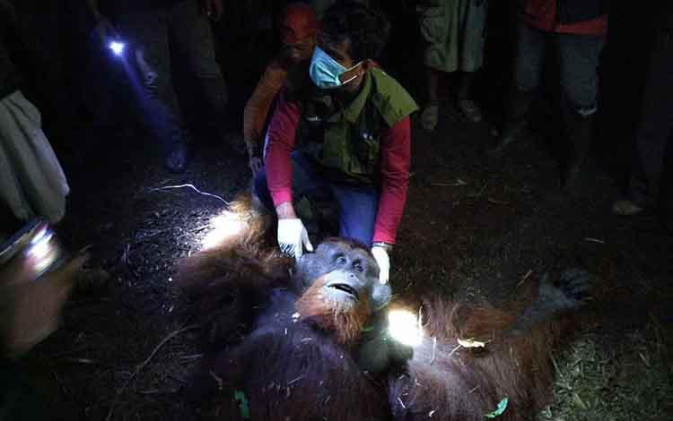 Sejumlah petugas dari RU SKW II BKSDA Kalimantan Tengah OF UK, saat menyelamatkan orangutan seberat 90 kilogram, di Kotawaringin Timur.