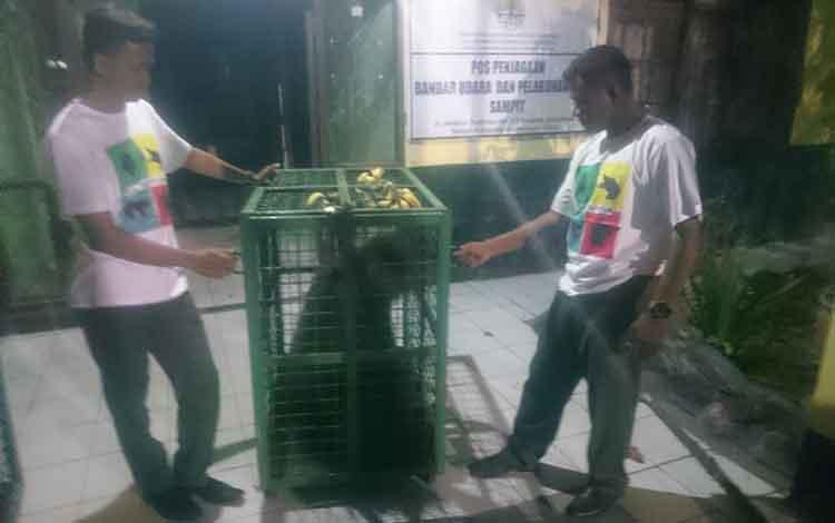 Petugas BKSDA Pos Jaga Sampit, saat memberi makan orangutan induk dan anak yang dievakuasi di Desa Bagendang Hilir.