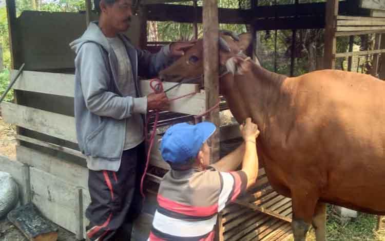 DKPP Sukamara mengambil sampel darah dari 25 ekor sapi yang dipersiapkan oleh masyarakat.