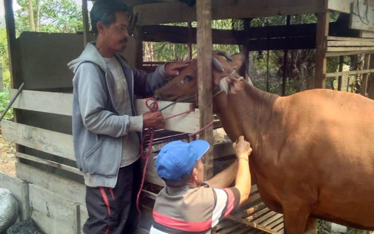 DKPP Sukamara saat melakukan pengambilan sampel darah pada sapi untuk mengetahui penyakit Brucellosis, Selasa, 10 September 2019.
