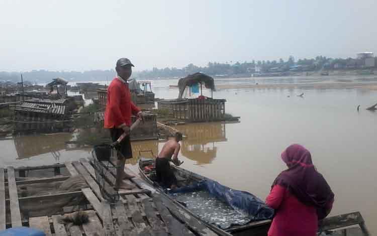 Badar, salah seorang petani keramba di Kampung Banjar, Kasongan tengah mengevakuasi ikan kerambanya ke tempat aman. Upaya itu dilakukan karena Sungai Katingan surut.