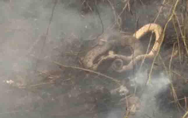 Ular sepanjang 2,5 meter yang ditemukan petugas di lokasi kebakaran lahan Jalan Jenderal Sudirman, Kecamatan MB Ketapang, Kotawaringin Timur.