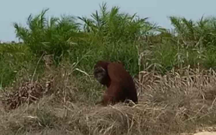 Orangutan jantan dewasa terlihat melintas di sekitar kebun nanas milik warga Jalan Pendulangan  RT 8, Dusun 3, Desa Tanjung Terantang, Rabu, 18 September 2019