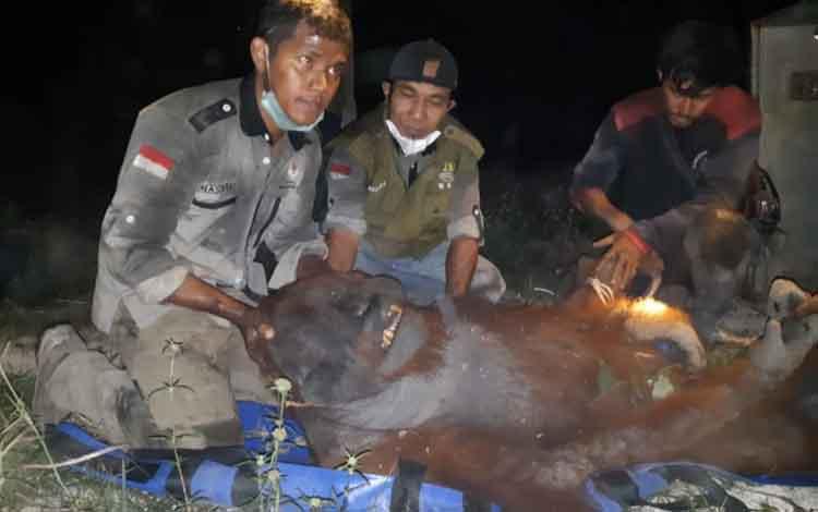 Evakuasi Orangutan Terjebak KarhutlaBerlangsung Dramatis