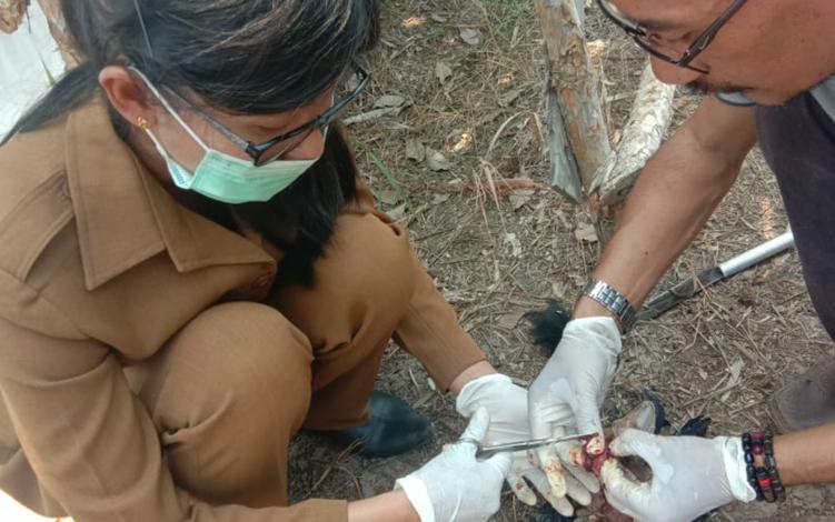 Kasi Kesehatan Hewan Distan Kapuas Anik Ariswandani saat membedah ayam yang mati akibat penyakit. Distan baru-baru ini menerima laporan dari peternak di sejumlah kecamatan yang menyamaikan bahwa banyak ayam mereka mati akibat penyakit.